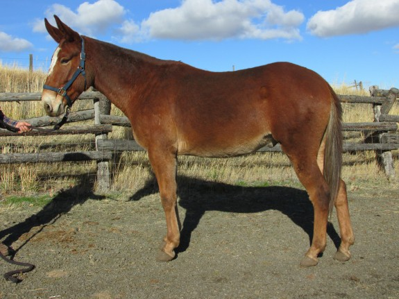 Marty – 6 yr old quarter type, 15 Hand john mule, rides and packs.