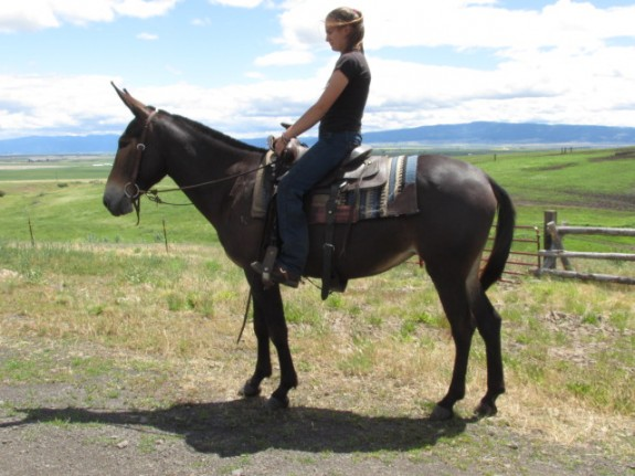 Rose – 7 year old Missouri foxtrotter molly mule, a smooth riding mule