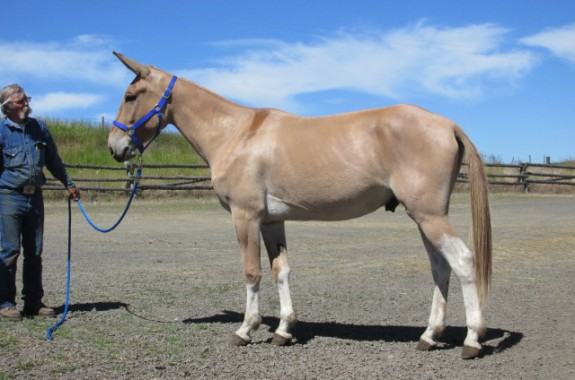 Cool Hand Luke – 5 yr old john mule, palomino with four white socks, rides & good looks combined!