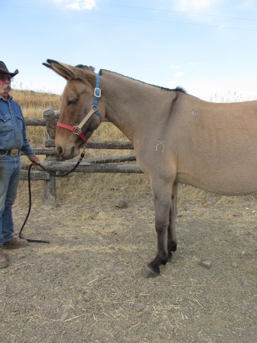 Cricket – Aged molly, line back dun, 14.3 Hands, experienced riding mule,
