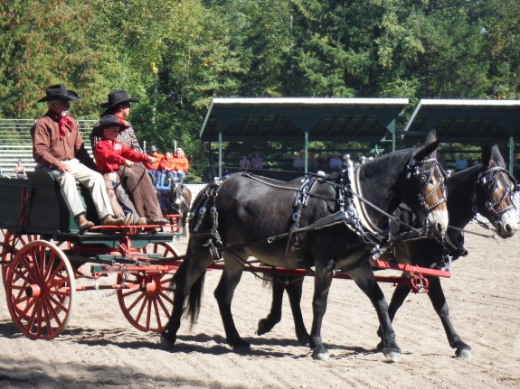 Nit & Pearl – 10 & 11 year old Percheron Molly team of mules, the best!