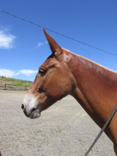Lizzy – 12 year old molly, sorrel quarter type saddle mule, safe and easy