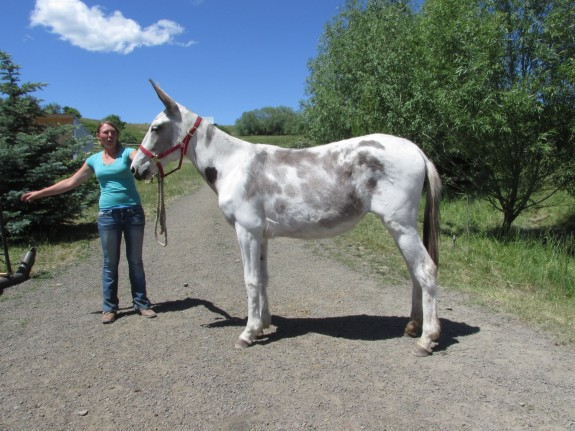 Spot – 2 yr. old spotted paint molly mule