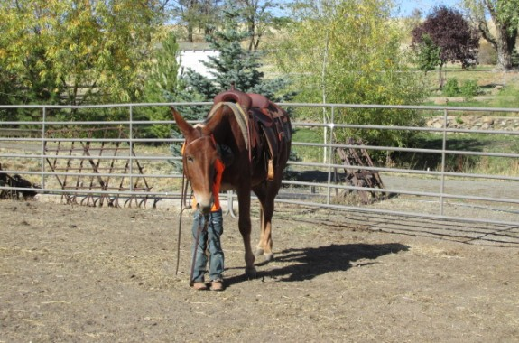 Holly – 9 year old total awesome saddle mule for sale