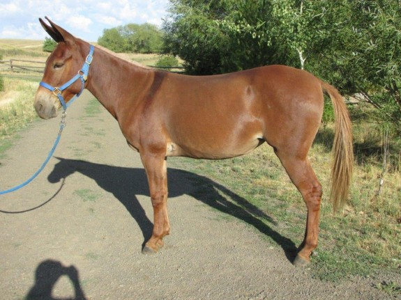 Cinco – 6 year old molly – red dun quarter type , quality saddle mule
