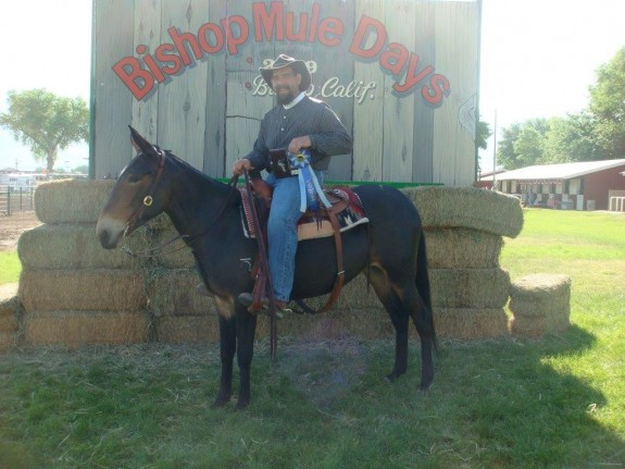 Holly – 12 yr old, 15 hand world champion gaited saddle mule for sale!