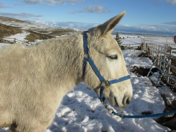 Jimmy – 14 year old grey john riding mule, perfect for young, old or beginner riders.