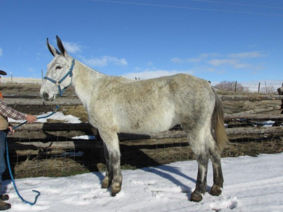 Bell – 8 year old, 15.2 hands, Grey molly that rides well