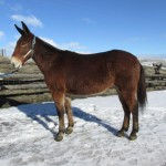 Dually – 8 year old 14.2 hand brown john mule, rides and packs
