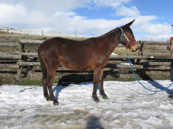 Isacc – 8 year old, 14.2 hand bay john mule,  rides and drives