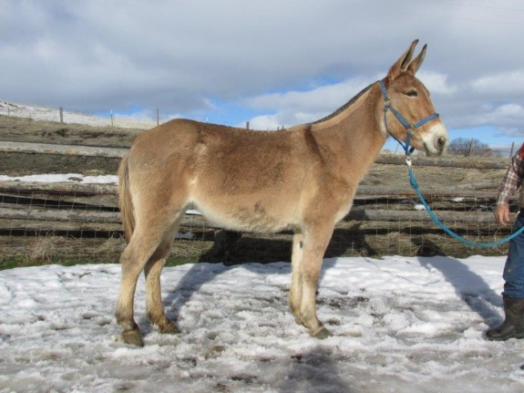 Sunny – 8 year old molly, 15 hand line back dun riding mule