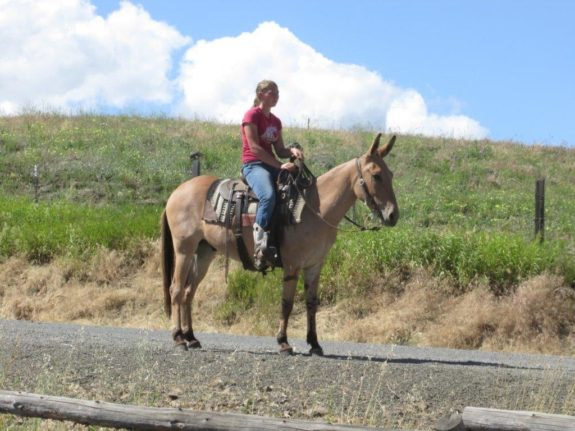 Brody – 5 year old quarter type, 14.2 hand john mule.  Rides and Packs