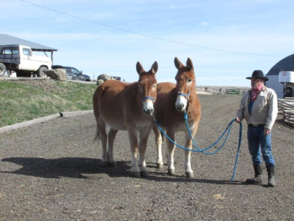 Custer and Poncho – 9 & 11 year old, Belgium john mules that drive and pack the best!