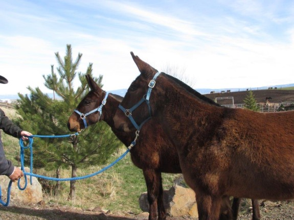 Peg & Nicki – 9 year old bay mollies 15 hand broke team of mules for driving