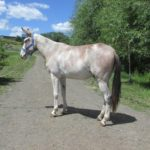 Snoopy – 6 year old john, 15.1 hand loud colored paint mule.  Really broke to ride.