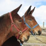 Sue & Sis – 8 & 7 year old, Bay quarter type 14 hand team of molly mules.