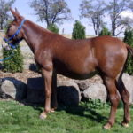 Alice – 15.1-15.2, sorrel molly, Tennessee Walker type, rides and drives