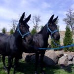 Bea & Lil – 14.3 hand quarter type, solid black colored, broke team of molly mules