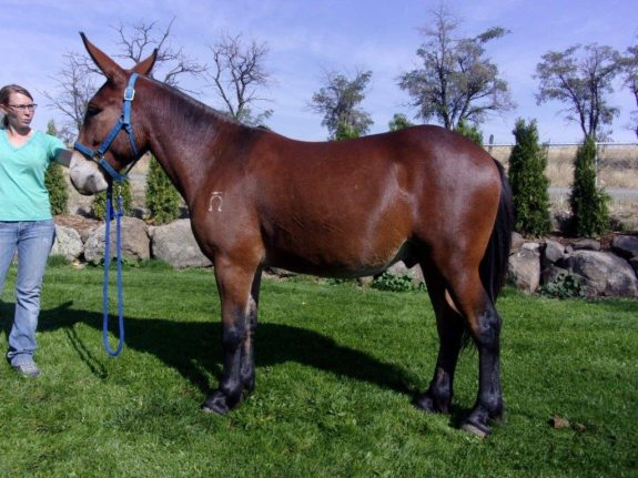 Danny – 4 year old bay, 15 Hand – Stout built john mule.  Rides and Packs