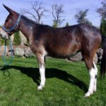 Liberty- 5 year old brown molly, four white socks, 14.2 -3 hands.  Rides, Packs, Drives