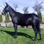 Deets – 7 yr. old black john mule 14.3 hands, rides and packs gentle and easy going.