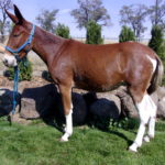 Ruth – 3 year old sorrel molly with four white socks – Rides gentle and smooth