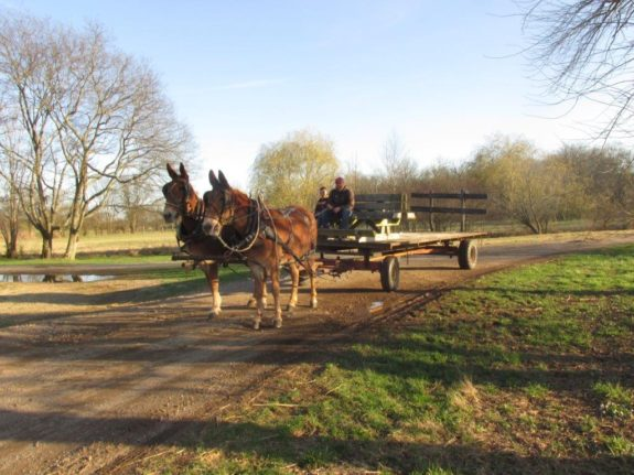 Nit & Rhody – 6 & 7 yr. old draft type matched molly mules 15.1 hands – Drives, Rides, Packs