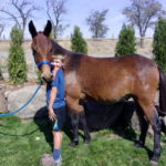 Max – 13.3 hand bay 5 year old john mule, kind and gentle small pack mule.