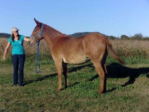 Sis – 6 year old 14.3 to 15 hand quarter type sorrel molly, rides like a cadillac