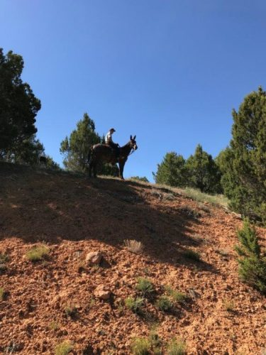 Coyote Mule has mules for sale in Utah!  Meet Will Macfarlane and see what he has for sale!