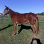 Pauly – 6 year old sorrel quarter type molly mule.  Excellent riding trail mule