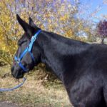 Josie – 9 year old 15 hand heavy built black molly.  Rides & Packs.
