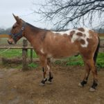 Jack – 7 year old Appy type John, 15 to 15.1 hands.  Rides and Packs!