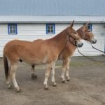 Moon and May 5 & 6 year old matching small Belguim type mules.  GREEN