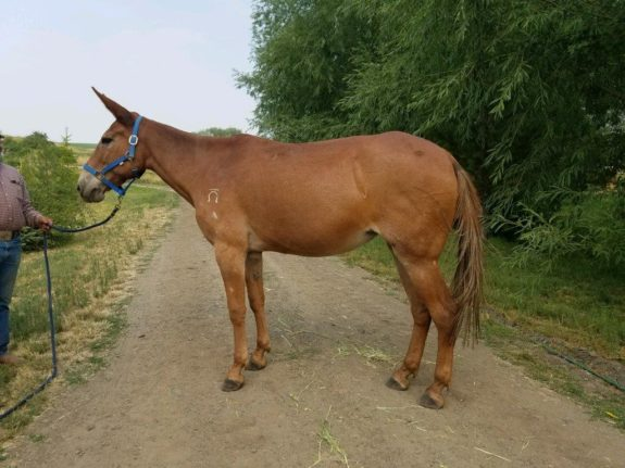 Hanna – 17 year old, Sorrel 15 hand molly, quarter type.  Rides and packs for grandma!